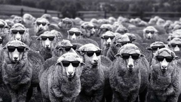 sheepculture